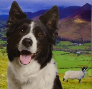 00219 Border Collie and Sheep Note Pad 300 x 289