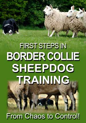 00730 First steps in BC sheepdog training 300