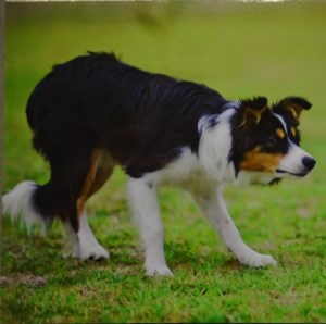 00218 Working Collie Note Pad 300 x 298