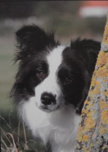 12038 Collie card 213 x 300